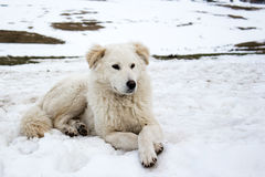 Maremmaherdershond in de sneeuw Stock Afbeelding