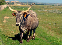 Maremmana breed cow in southern Tuscany, toned image Stock Photos
