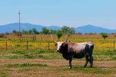 Maremmana breed cow in southern Tuscany, toned Stock Photos
