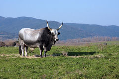 Maremmana Bull at Vulci Royalty Free Stock Images