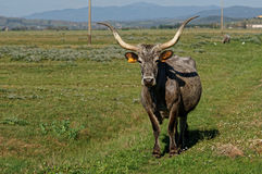 Maremmana  cow in southern Tuscany Stock Images