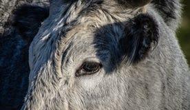 Maremmana-Kühe, die auf einem grünen Grasland weiden lassen Lizenzfreie Stockfotos