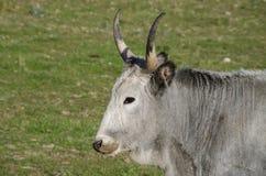 Maremmana krowy pasa na zielonej prerii Zdjęcie Stock