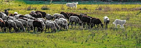 Maremmano shepherd dog lead the flock. Image of Maremmano shepherd dogs that leads the livestock in a sunny winter day in the Italian countryside of Lazio region stock photos