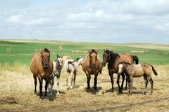 Mares And Foals In Pasture Stock Image
