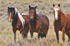 Mares approaching. The wild horses are running toward the front of the herd in the sage brush royalty free stock image