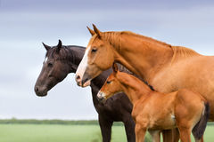 Mares with colt Stock Images