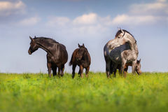 Mares with colt at sunny day. Herd of mare and colt in spring pasture grazing Royalty Free Stock Photography