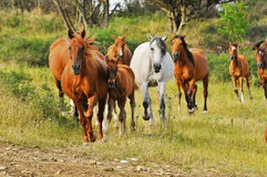 Mares with foals. Go home Stock Photo