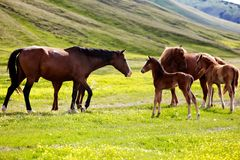 Mares and foals Stock Image