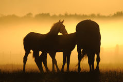Mares with foals. Against the dawn. A herd of horses at dawn. Horses come in a landscape at sunrise stock photos