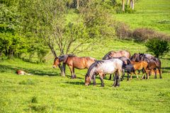 Mares and foals in a Bulgarian May meadow royalty free stock image