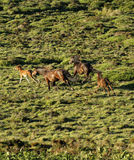 Mares & Foals Royalty Free Stock Photo