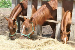 Mares and foals eating fresh hay Stock Images