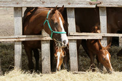 Mares and foals eating hay on animal farm Royalty Free Stock Photo