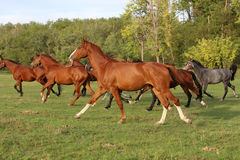 Mares and foals galloping on the meadow summertime Stock Images