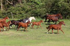 Mares and foals galloping on the meadow summertime Stock Photo