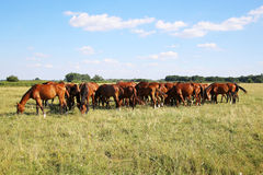 Mares and foals graze on green grass rural scene in the background Royalty Free Stock Photography