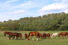 Mares and foals grazing green grass  on the meadow summertime Stock Image