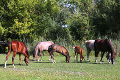 Mares and foals grazing together on pasture at horse farm Stock Images