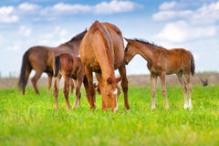 Mares and foals Stock Photography