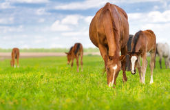 Mares and foals Royalty Free Stock Image