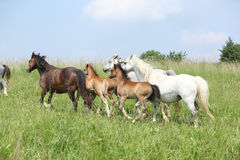 Mares and foals moving on pasturage Royalty Free Stock Photos