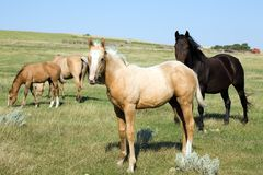 Mares and Foals In Pasture Royalty Free Stock Photos