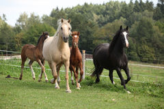 Mares with foals running Royalty Free Stock Photography
