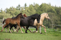 Mares with foals running Stock Photography
