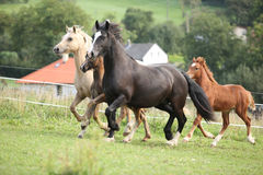 Mares with foals running Stock Photos