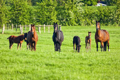Mares and foals Royalty Free Stock Photos
