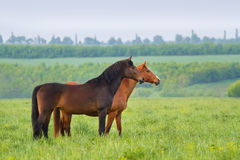 Mares in pasture Royalty Free Stock Images