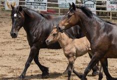 Mares and Pony Royalty Free Stock Photo