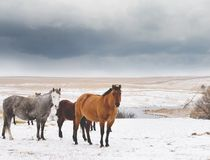 Mares In Snow. Quarter horse mares in snowy winter scene with dark clouds overhead royalty free stock photos