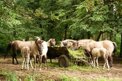 Herd of horses in the cart. Mares with young foals eat fresh grass straight from a wooden cart Stock Images