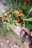 Maretak met rode bessen in een bos Stock Afbeeldingen