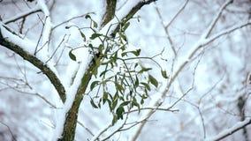 Maretak op boomtak in openlucht in de winter met dalende sneeuw wordt behandeld die stock video