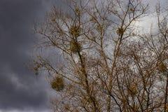 Maretakparasiet op bomen, besmet gebladerte stock afbeeldingen
