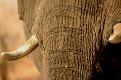 Marfil en elefante Fotos de archivo