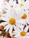 Margaret biały kwiat jak ładna dziewczyna fotografia stock