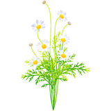 Margaret - birth flower vector illustration in watercolor paint Royalty Free Stock Photography