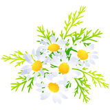 Margaret - birth flower vector illustration in watercolor paint Stock Photography