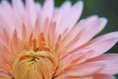 Margaret blomma Arkivbilder