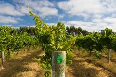 Margaret Chardonnay Rzeczni winogrady Zdjęcie Royalty Free