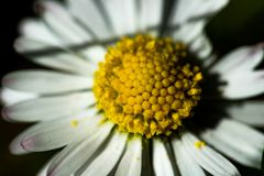 Margaret Flower Blooming. Spring blumen gelb stock photo