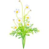 Margaret - ilustração do vetor da flor do nascimento na pintura da aquarela Fotografia de Stock Royalty Free