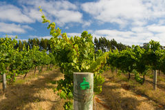 Margaret River Chardonnay Vines fotografia stock libera da diritti