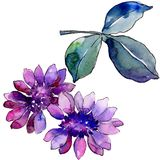 Margarida africana roxa da aquarela Flor botânica floral Elemento isolado da ilustração ilustração stock