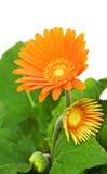 Margarida alaranjada do gerber na flor Fotos de Stock